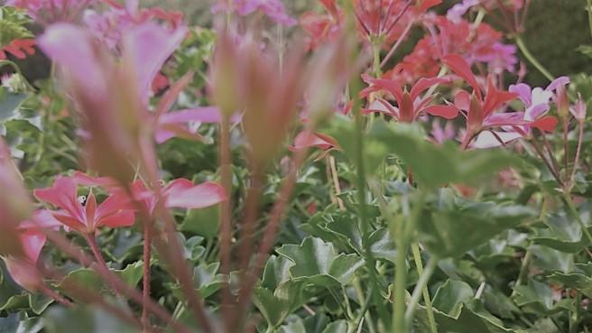 Spätsommer Pelargonien 1 slate col 25