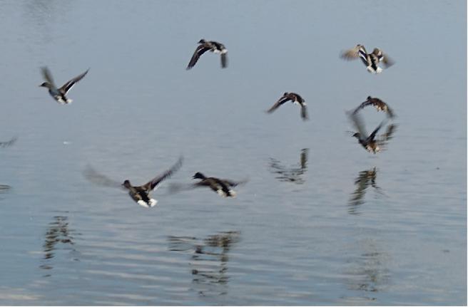 Vögel Safov 1