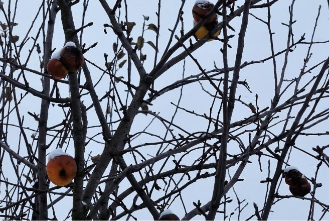 Apfelbaum Winter 1