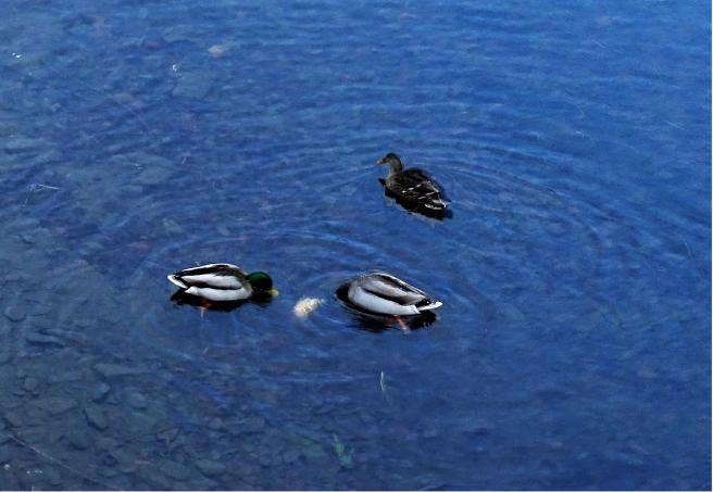 Drei Enten thaya
