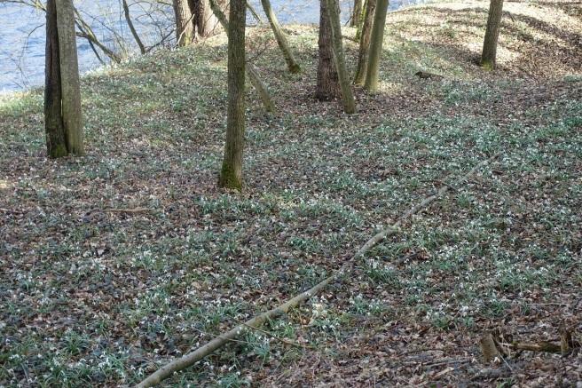 Schneeglöckchen Wiese